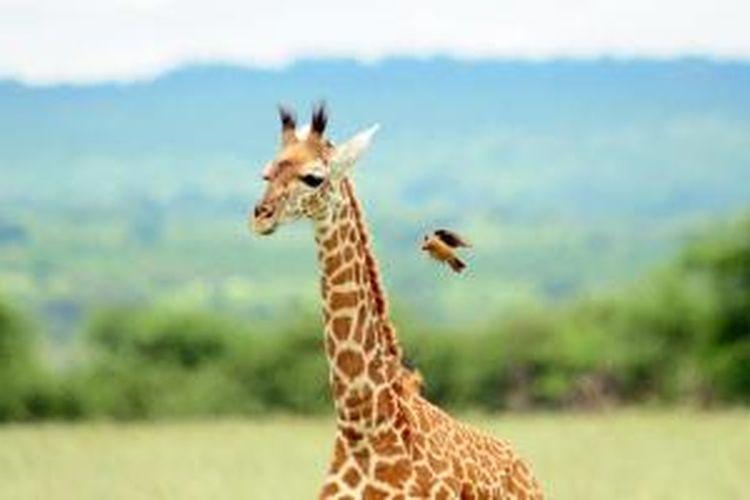 Jerapah di Ngorongoro National Park, Tanzania.
