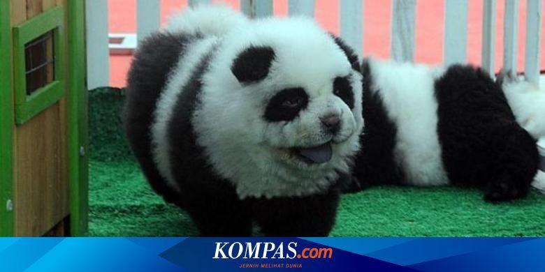 Hobi Baru Warga China Memelihara Anjing Panda