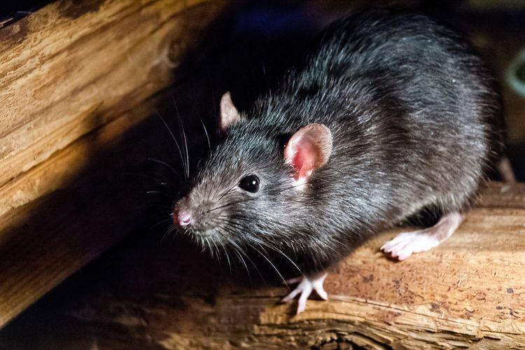 Ilustrasi tikus, serangan tikus merajalela di Queensland dan New South Wales, Australia. Ribuan tikus bermunculan diduga karena panen gandum.
