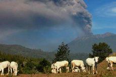 Makan Rumput Terpapar Abu Vulkanik Gunung Raung, Ternak Sakit