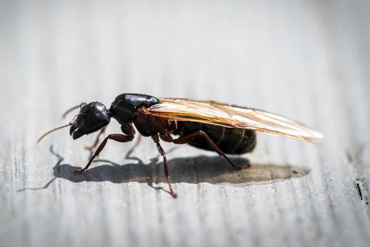 Ilustrasi semut terbang.