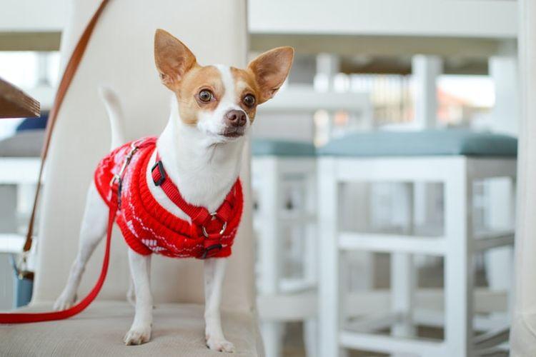Ilustrasi anjing Chihuahua