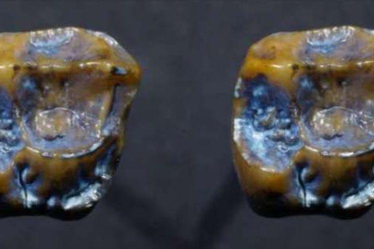 Peneliti menemukan dua gigi fosil