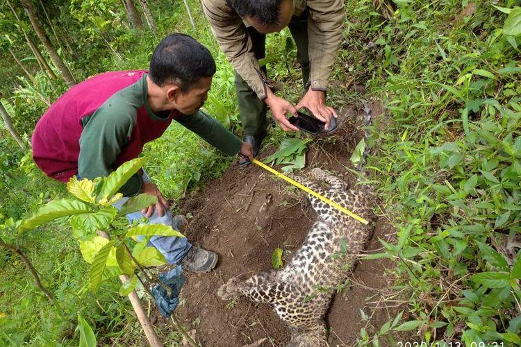 Seekor macan tutul Jawa (Panthera Pardus Melas) ditemukan mati di kawasan hutan Pegunungan Muria wilayah Desa Plukaran, Kecamatan Gembong, Kabupaten Pati, Jawa Tengah, Minggu (12/1/2020).