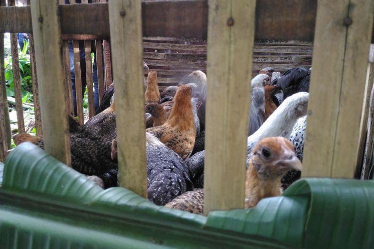 Kementerian Pertanian memberikan bantuan 50 ekor ayam untuk setiap rumah tangga miskin di Kabupaten Bondowoso, Jawa Timur, Selasa (22/5/2018). Bantuan itu terkait program Bedah Kemiskinan, Rakyat Sejahtera untuk mengurangi angka kemiskinan.