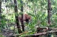 Pernah Digiring Keluar, 2 Gajah Ini Kembali Masuk Kebun Warga di Riau