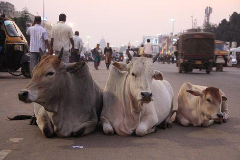 Kuliti Bangkai Sapi di India, Satu Orang Tewas Dihajar Massa di India