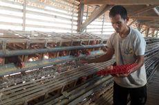 Nasib Suram Peternak: Harga Telur Jeblok, Ongkos Pakan Mahal