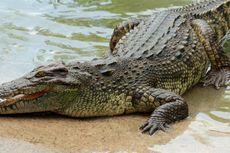 Buaya dan Aligator, Apa Bedanya?