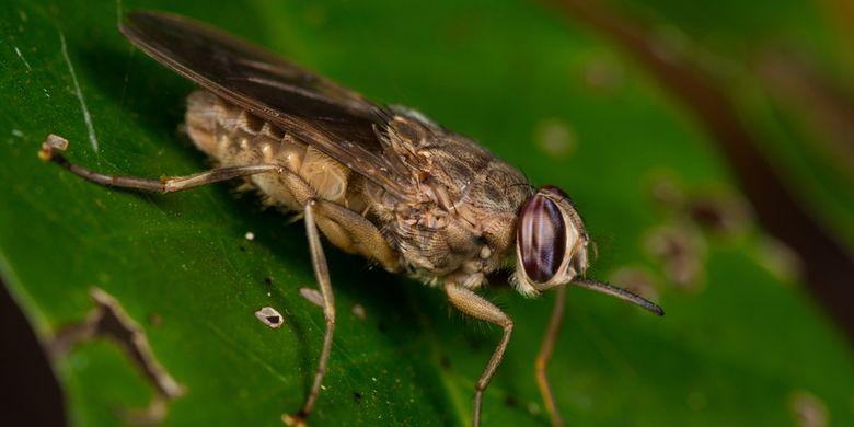 Ilustrasi lalat Tsetse
