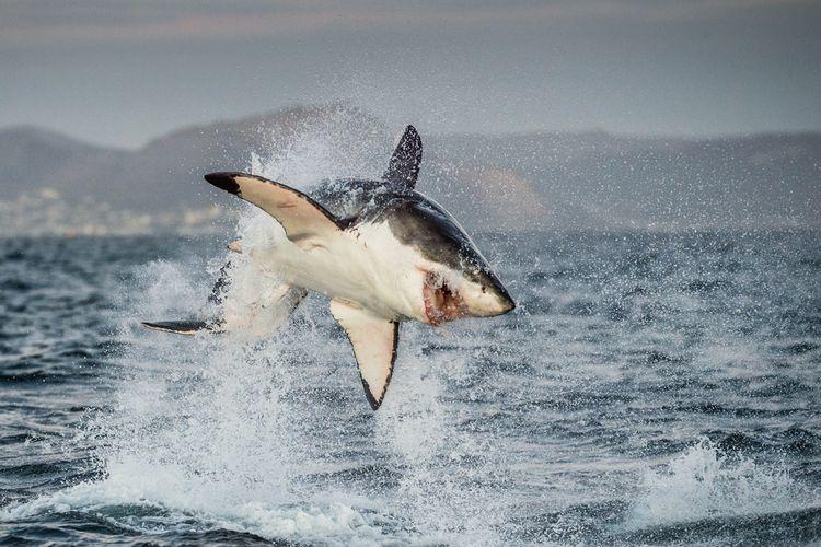 Ilustrasi hiu putih besar (Carcharodon carcharias)