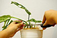 Tanaman Janda Bolong Cocok untuk Pemula Berkebun