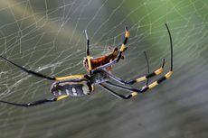 Jangan Dibunuh, Ini Keuntungan Laba-laba di Rumah