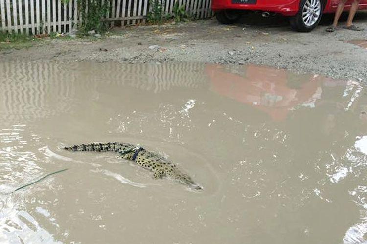Buaya peliharaan Romi Pakaya yang dilepas di genangan air di jalan Sulawesi, Kota Tengah, kota Gorontalo