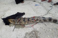 Seekor Buaya Sinyulong Masuk ke Kolam Ikan Warga di Riau