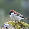 Tak Hanya Manusia, Burung Pipit Juga Gunakan Tanaman untuk Obat