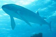 Ada Ikan Purba Beratnya Tiga Kali Gajah Afrika