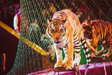 Hewan Positif Covid-19: Harimau di AS, Anjing di Hong Kong, dan Kucing di Belgia
