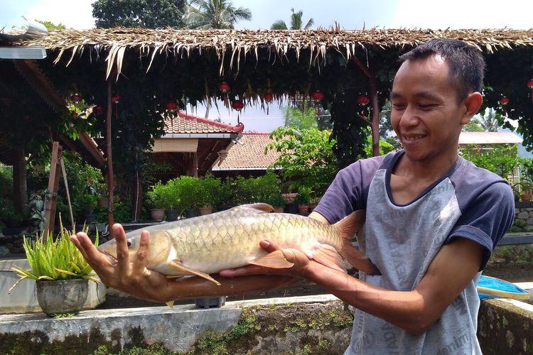 Pekerja menunjukkan ikan dewa di pusat budidaya di Desa Karangtengah, Kecamatan Cilongok, Kabupaten Banyumas, Jawa Tengah, Selasa (21/1/2020).