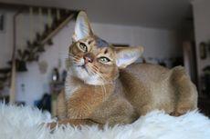 10 Jenis Kucing yang Cocok Anda Pelihara Berdasarkan Kepribadian