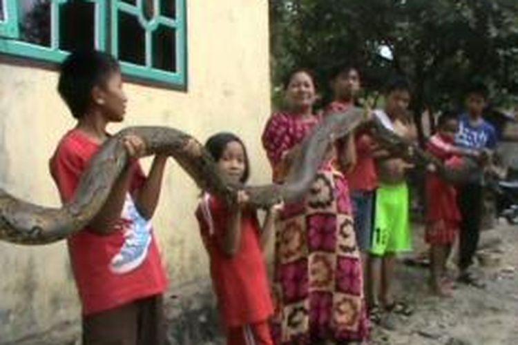 Ilustrasi: ular piton hebohkan warga Desa Kanang, Kecamatan Binuang, Polewali Mandar, Sulawesi Barat. Ular sepanjang 6,5 meter ini dituding warga memangsa puluhan ekor ayam dan kambing milik mereka.