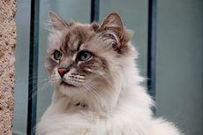 Sering Dikira Sama, Ini 6 Perbedaan Kucing Angora dan Kucing Persia