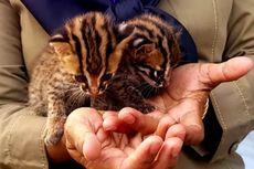 BBKSDA Riau Evakuasi Dua Ekor Bayi Kucing Hutan
