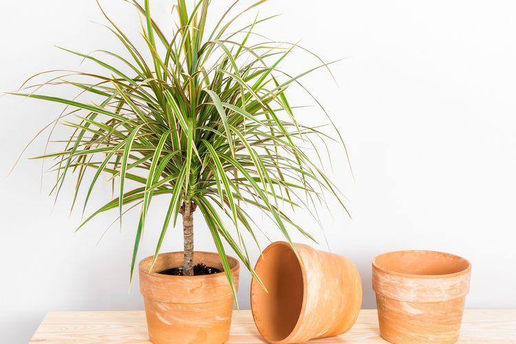 Dracaena, tanaman hias yang membantu memebrsihkan udara di dalam ruangan