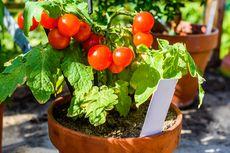 9 Tips Menanam Tomat agar Subur dan Berbuah Lebat