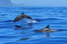 Studi Sebut Lumba-lumba Muda Pemilih dalam Berteman