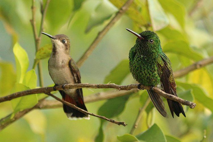 Ilustrasi sepasang burung kolibri Ruby-topaz hummingbird (Chrysolampis mosquitus).