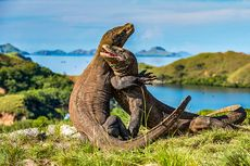 Kaleidoskop 2019: Tarik Ulur Penutupan Pulau Komodo, Alasan Konservasi hingga Rencana