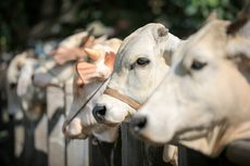 Kisah Unik Sapi-sapi Jokowi, Tidur di Karpet Jutaan Rupiah, Mandi Siang agar Tak Masuk Angin