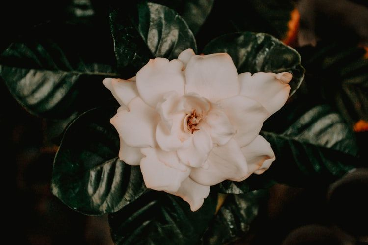 Ilustrasi bunga gardenia