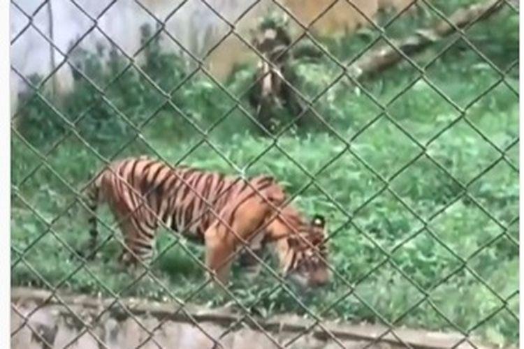 Viral di media sosial sebuah video yang memperlihatkan seekor harimau di kebun binatang sedang makan rumput.