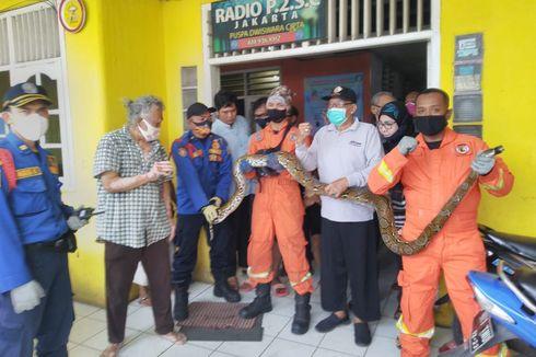 Petugas Damkar Evakuasi Ular Sanca Sepanjang 4 Meter di Kemayoran