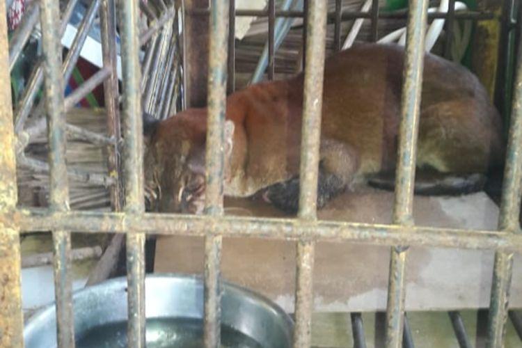Seekor kucing emas langka terjerat perangkap babi dan kemudian di evakuasi BKSDA Bukittinggi, Selasa (17/6/2020)