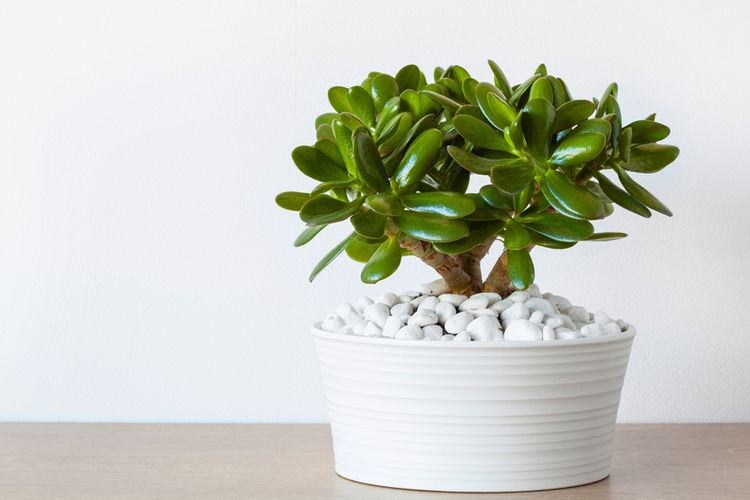 Ilustrasi tanaman hias jade plant.