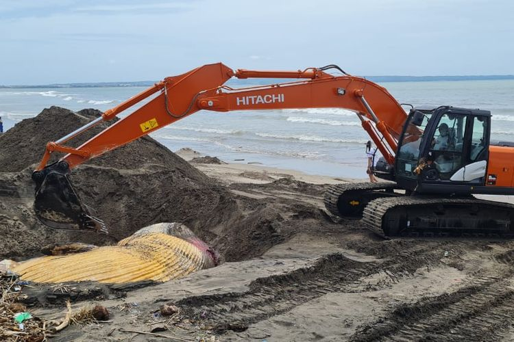 Petugas mengubur bangkai paus jenis bryde whale dengan panjang 13,8 meter terdampar di Pantai Batu Belig, Kerobokan, Kecamatan Kuta Utara, Badung, Bali, Kamis (21/1/2021) pagi.