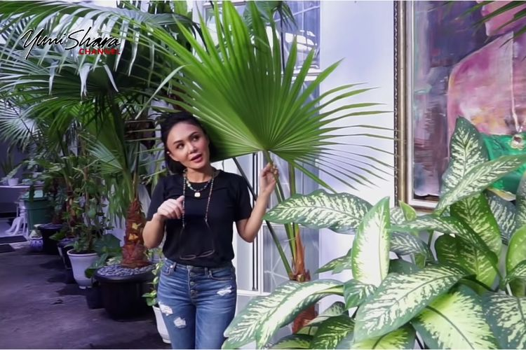 Penyanyi Yuni Shara memamerkan salah satu dari koleksi tanaman palem kipasnya.