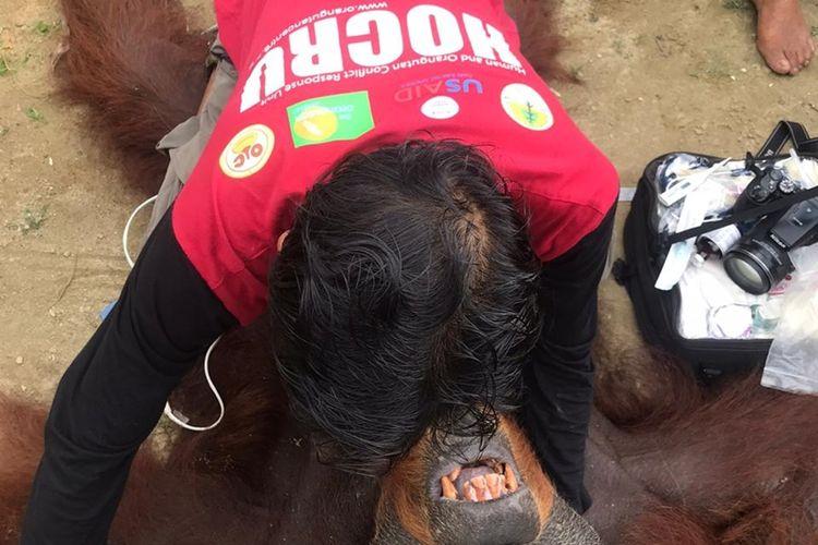 Seorang anggota tim HOCRU YOSL-OIC memeriksa orangutan sumatera bernama Paguh usai dibius untuk dievakuasi dari perkebunan kelapa sawit di Gampong Teungoh, Kecamatan Trumon, Aceh Selatan. Orangutan ini sebelumnya hanya bisa berjalan di tanah dan tangannya menggapai-gapai karena buta.  Orangutan ini sekarang berada di Pusat Karantina Orangutan di Batu Mbelin, Kecamatan Sibolangit, Deli Serdang, Sumatera Utara.