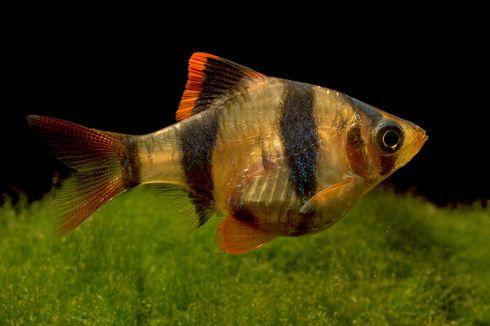 Tips Pelihara Ikan Elang atau Tiger Fish, Ikan Hias yang Harganya Bisa Jutaan Rupiah