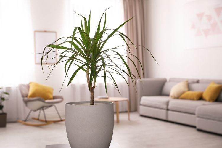 Ilustrasi tanaman hias dracaena di dalam ruangan.