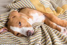 10 Penyakit Penyebab Anjing Muntah yang Harus Diwaspadai