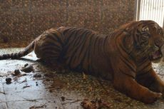 Terjerat Perangkap Pemburu, Kaki Seekor Harimau Sumatra Terpaksa Diamputasi