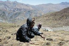 Kebanyakan Dipanen, Viagra Himalaya Terancam Punah