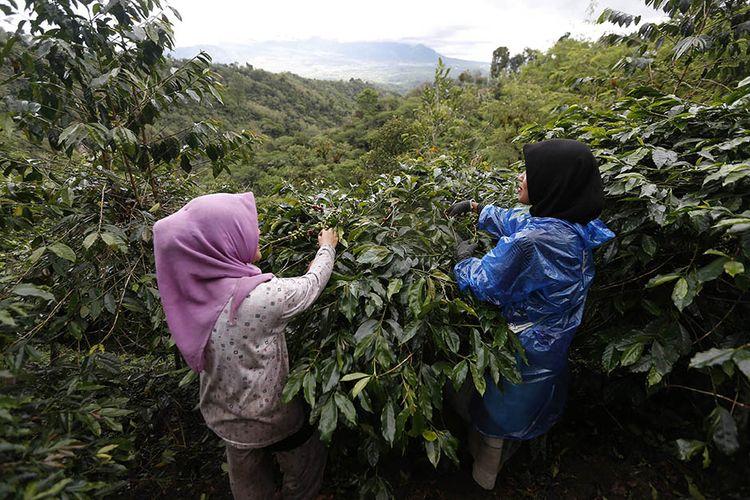 Foto dirilis Selasa (16/3/2021), memperlihatkan petani memanen kopi arabika Gayo di Takengon, Aceh Tengah, Aceh. Pandemi Covid-19 yang juga telah merambah dataran tinggi Gayo di Aceh tidak menyurutkan semangat para petani kopi arabika di daerah itu untuk terus meningkatkan produksi yang permintaannya kembali meningkat di pasar internasional.