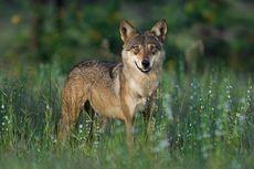 Serigala India, Spesies Serigala Kuno Paling Terancam Punah di Dunia