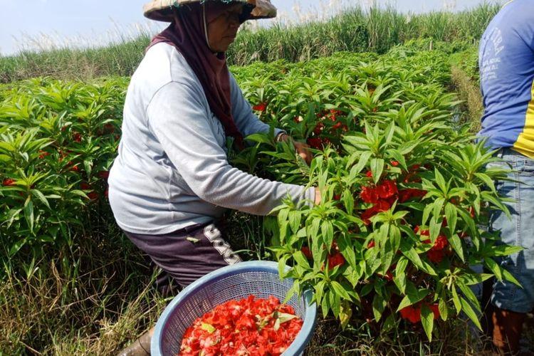 Panen bunga pacar air di lahan milik Kasan, di Desa Dukuh Klopo, Kecamatan Peterongan, Kabupaten Jombang, Jawa Timur.