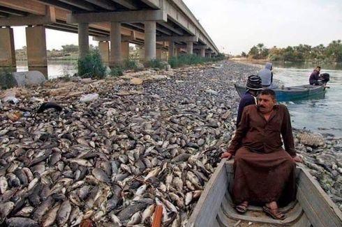 Ribuan Ikan Mas Mati Misterius di Sungai Eufrat di Irak
